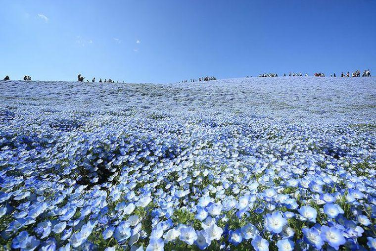 Hitashi Seaside Park Un mare azzurro fatto di petali