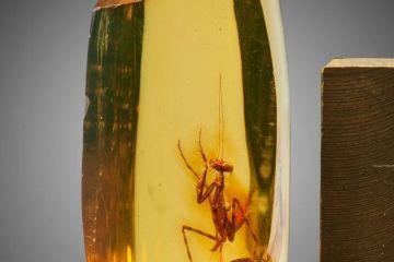 Mantide religiosa di 12 milioni di anni fa conservata in un pezzo d'ambra dall'incredibile trasparenza