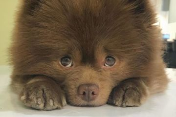 Un cane di razza pomeriana che assomiglia ad un orsetto è stato abbandonato ma ora ha tantissimi fan