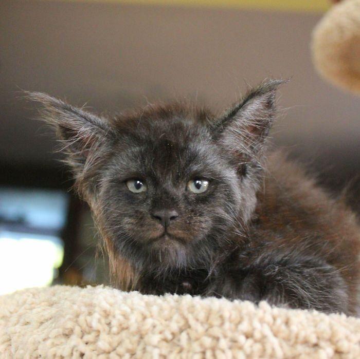 Valkyrie una gattina dal volto umano