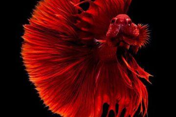 Sono di un'eleganza straordinaria i pesci combattenti nelle fotografie di Visarute Angkatavanich