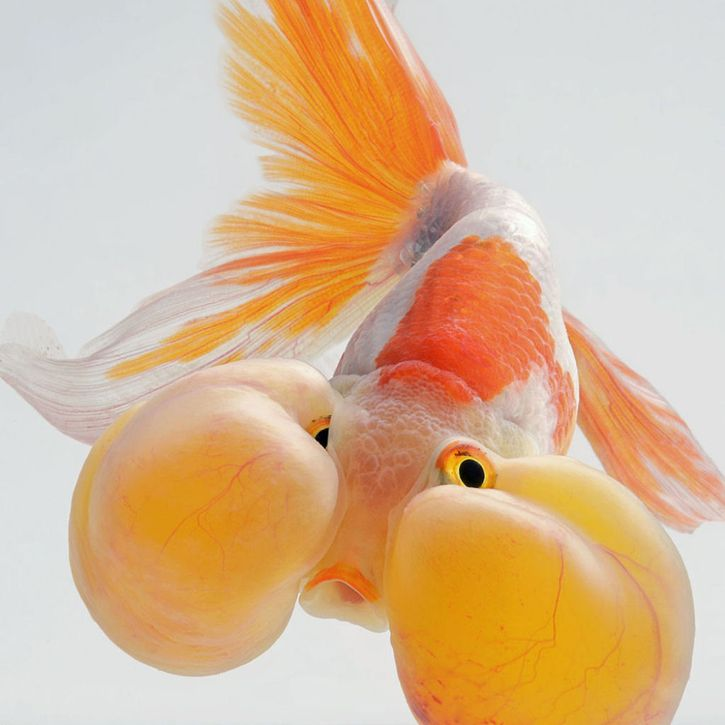 i pesci combattenti nelle fotografie di Visarute Angkatavanich