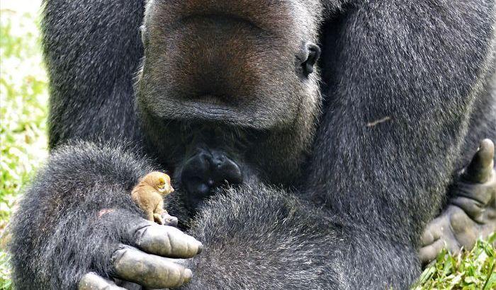 L'incredibile tenerezza di un gorilla nei confronti di una scimmia piccolissima