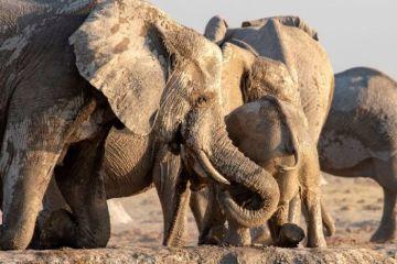 Le emozionanti immagini e il video di una femmina di elefante che salva un cucciolo da morte certa