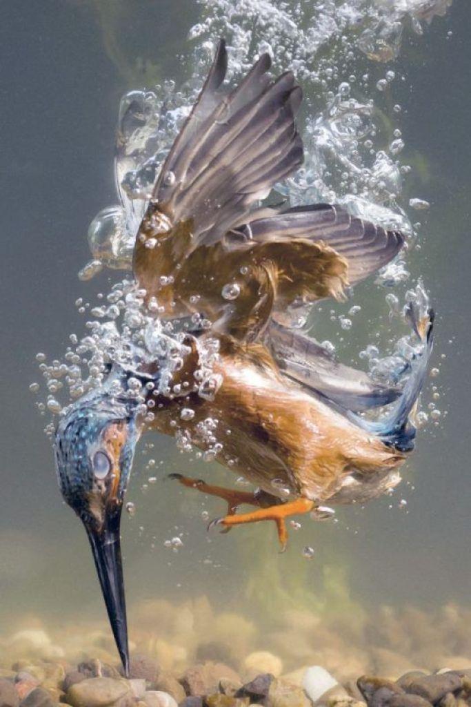 martin pescatore che cattura la preda
