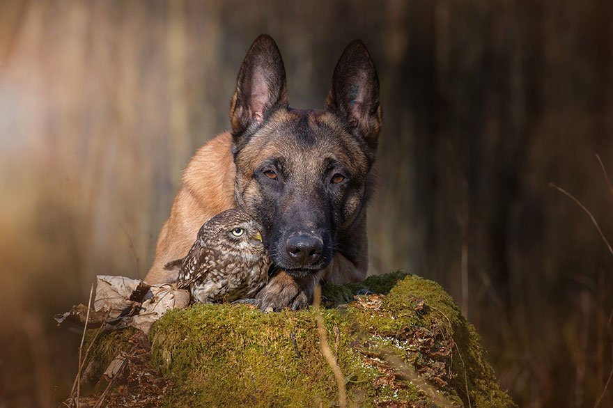 Sembra impossibile ma tra le tante storie di amicizie impossibili anche quella tra un pastore tedesco e i gufi è una storia vera.