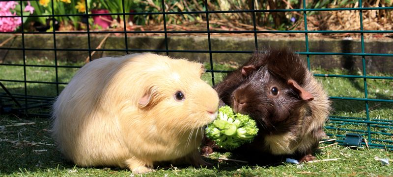 coppia-porcellini-d'india