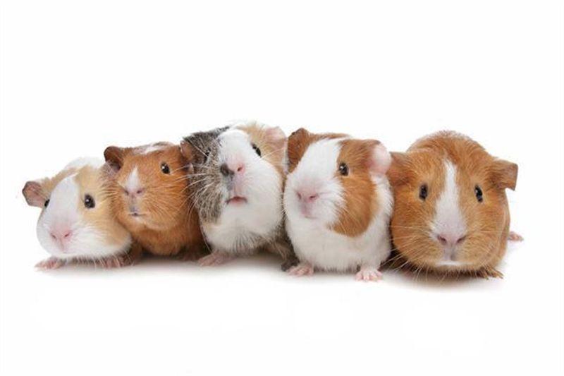 porcellino d'India riproduzione