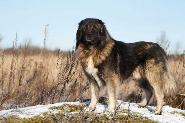 Cane pastore caucasico tra i cani piu' grandi al mondo