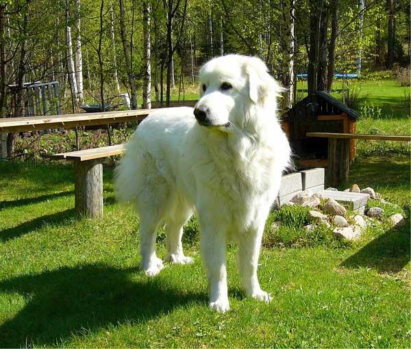 Razze di cani grandi Cane bovaro dei Pirenei
