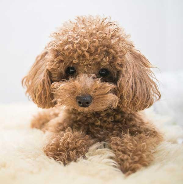 poodle mini marrone primo piano muso