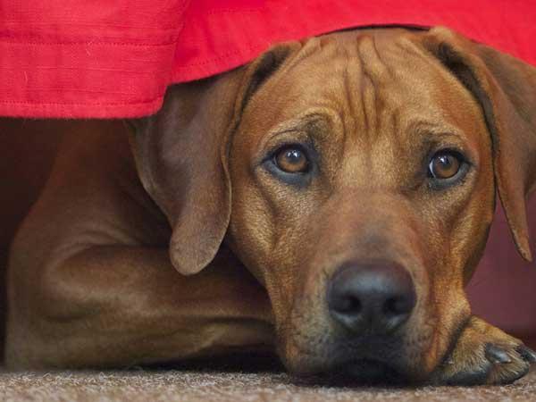 cane lion dog muso