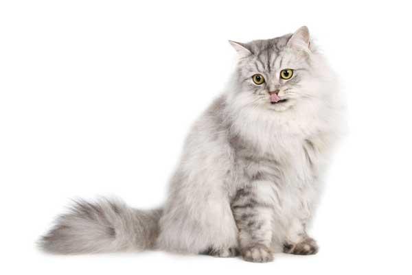gatto-persiano-grigio