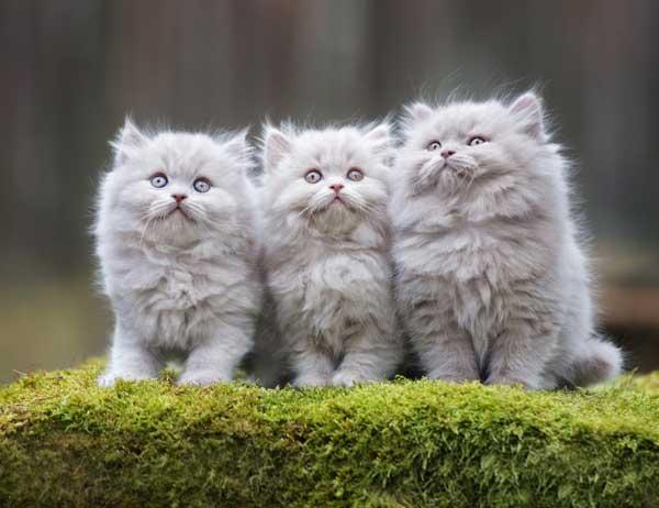 gatto-persiano-3-cuccioli