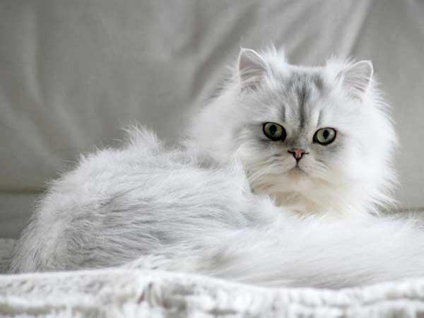 gatto persiano bianco-occhi-verdi