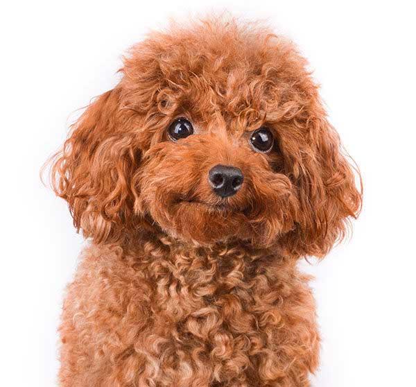 barboncino poodle marrone primo piano