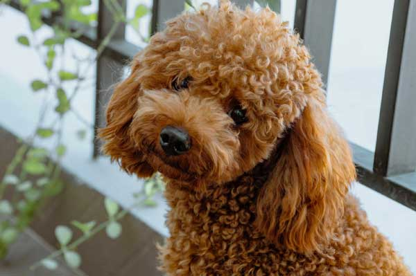 barboncino poodle marrone in posa