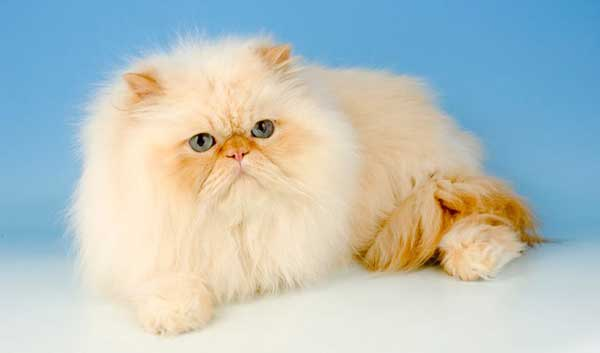 gatto-persiano-crema