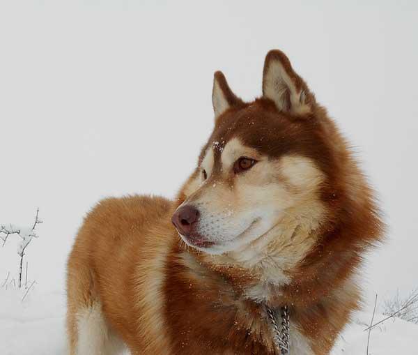 siberian husky figura rosso