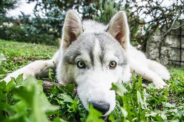 siberian husky occhi marrone azzurro