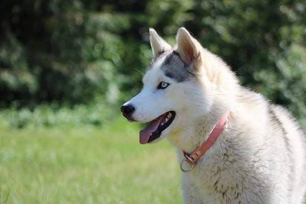 siberian husky bianco nero