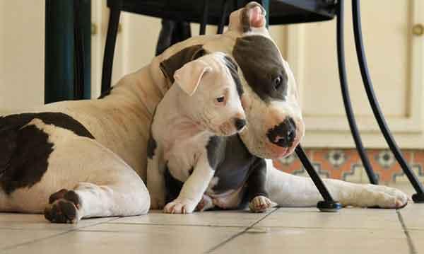 American pitbull terrier cucciolo con madre