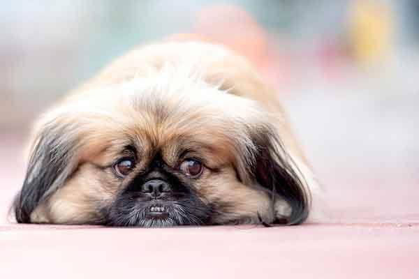 cane pechinese di fronte
