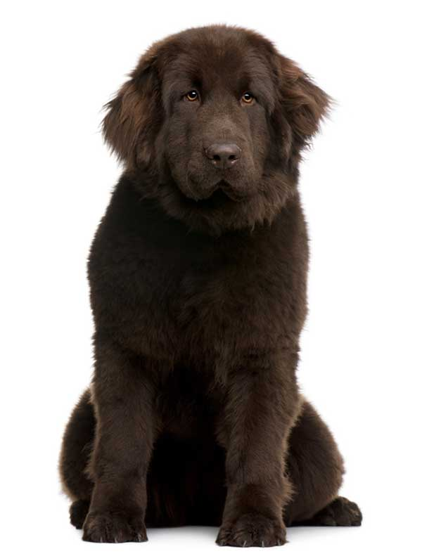 cane terranova marrone figura seduto