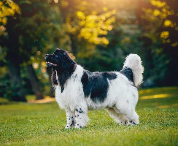 cane terranova bianco e nero all'aperto di fianco