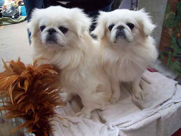 coppia cani pechinesi