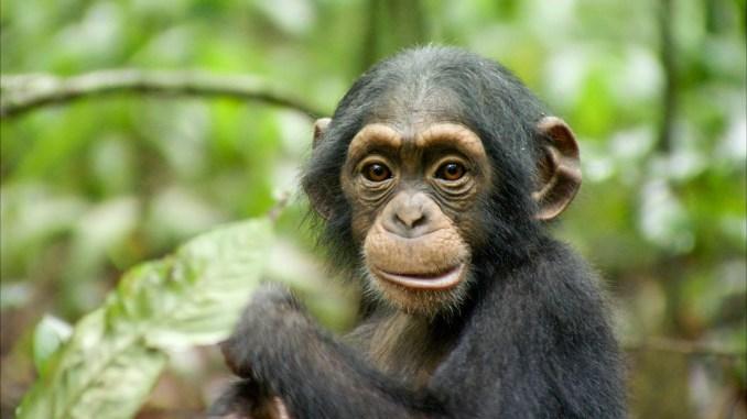 Chimpanzés critique1