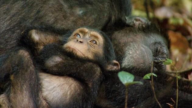 Chimpanzés critique2