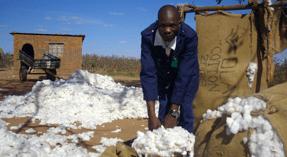 Cotton growers in Zimbabwe