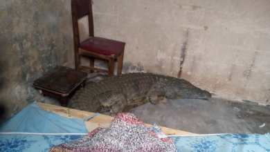 Photo of Crocodile found in deceased school head's house