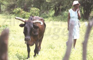 Villagers selling sick cattle to butcheries EXPOSED!