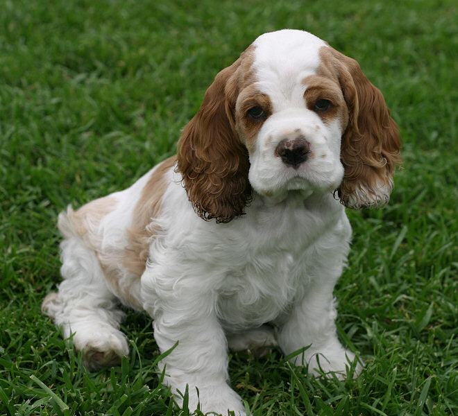 Image result for cocker spaniel