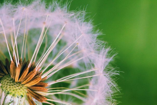 dandelion on green, the dandelion suggesting the possibilities of planting new seeds of spiritual exploration in interfaith dating