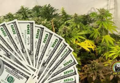 Cannabis medicinal: cultivos en Perú podrían generar ingresos de US$ 1 millón por hectárea