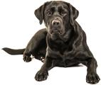 a Labrador Retriever