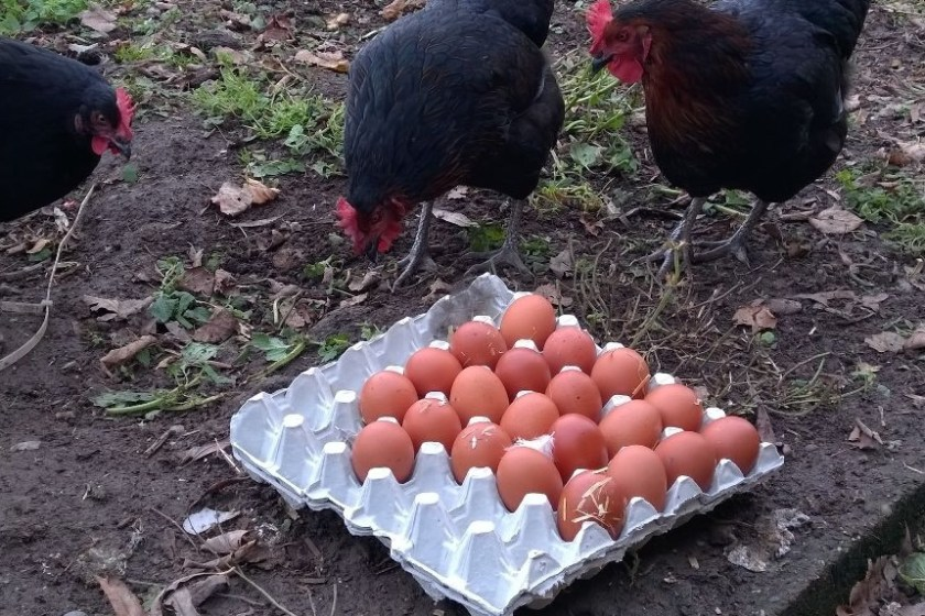 Fertile Hatching Eggs Image