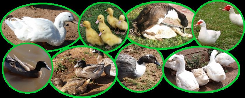 Duck Breeds in... </p srcset=