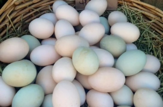 Fertile Duck Eggs