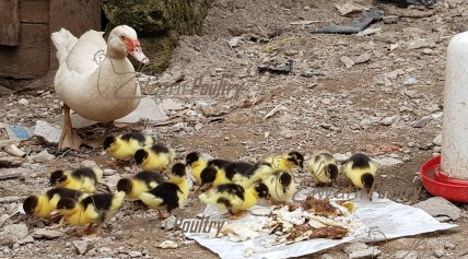 Duck Farming in Kenya - Muscovy female duck with ducklings