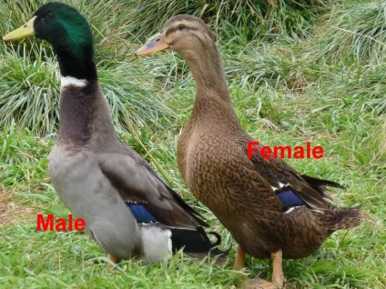 Male and female Rouen duck