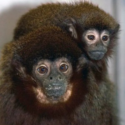 An adult male titi monkey and his infant, at the California National Primate Research Center in Davis, Calif., which might have harbored a new-to-science virus that infects and is contagious to both monkeys and humans. (c) Kathy West