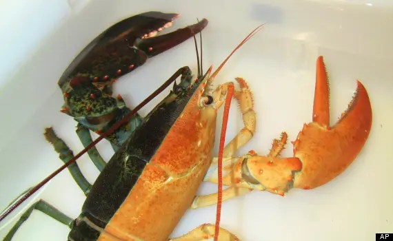 """This image released by the New England Aquarium shows a one-pound female lobster, known as a """"split,"""" that was caught by a Massachusetts fisherman last week and arrived at the aquarium in Boston Wednesday, Oct. 31, 2012. Officials say such rare Halloween coloration is estimated to occur once in every 50 million lobsters. (AP Photo/New England Aquarium, Emily Bauernseind)"""
