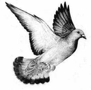 flying pigeon drawing