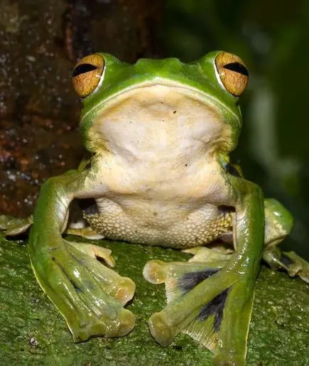 new-species-helens-flying-frog_63112_600x450