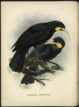 The Huia was a large species of New Zealand wattlebird. It went extinct in the 20th century because of hunting to make specimens for museums and private collectors.