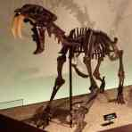 The much loved, much feared, and overall iconic Saber-toothed cat, Smilodon, is also on the list. It died out about 10,000 years ago due to climate changes at the end of the last Ice Age.